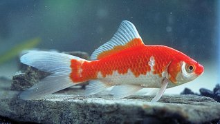 Red and white comet goldfish - photo#19
