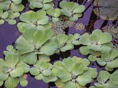 WaterLettuce05.jpg